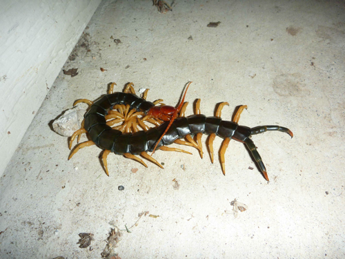 A Giant Centipede In Austin Texas