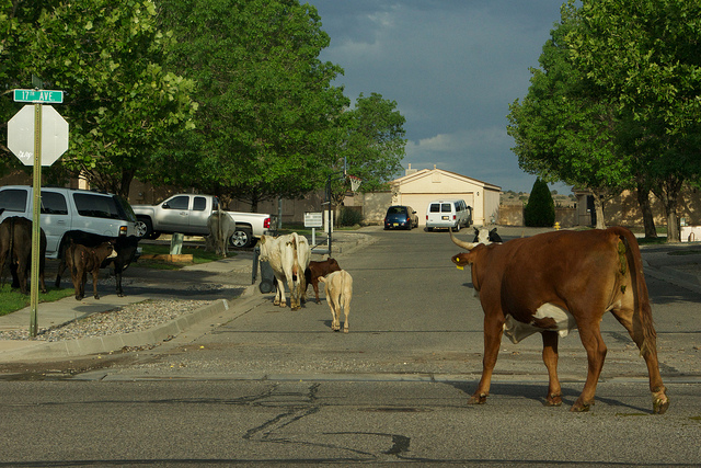 The cows in the North Hills subdivision Rio Rancho, NM by gregjsmith, on Flickr